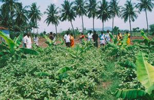 Farmers visit Organic brinjal field