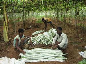 Farmers with the harvested snake gourd