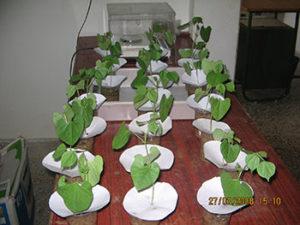 Green gram seedlings for the purpose of bioassay
