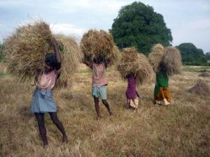 Harvested little millet - taken for threshing