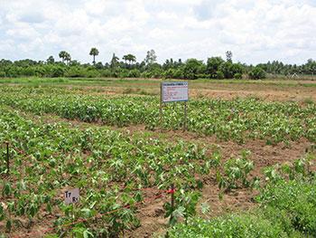 Experiment in Bhendi field