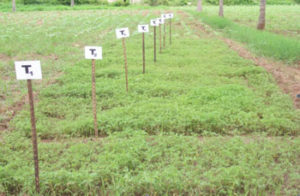 Experiment on ecofriendly management of fusarial wilt in tomato - field experiment .