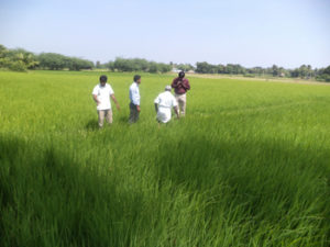 Organic seed production - field inspection