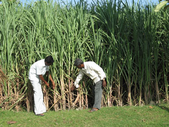 Our technical staff Mr. Suresh identifing pests in sugarcane field at Kadambai.