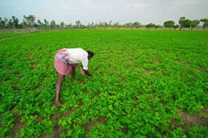 Organic ground nut field at Koozhaiyar village.