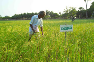 Traditional paddy variety Kundhali cultivated in Sitthivinayagapuram village