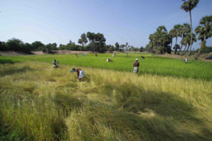 Traditional paddy varieties cultivated in Sithivinayagapuram village