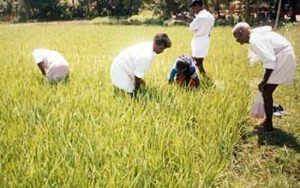 Training in organic paddy field through Farmer's Field School method.