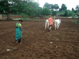 Traditional ploughing and seed sowing
