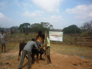 Veterinary camp conducted in Kovilur Panchayat