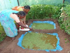 Azolla production unit in Aadhamangalam